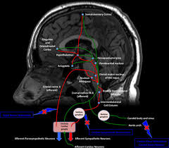Gross Anatomy Of The Brain And Cranial Nerves Pdf Heart U2013brain Axis Circulation Research