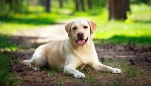 labrador breed standard the labrador site