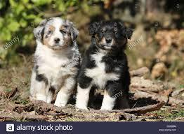 australian shepherd iq australian shepherd puppies black tri blue merle stock photos
