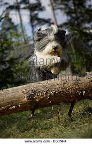 bearded collie mini bearded collie jumping stock photos u0026 bearded collie jumping stock