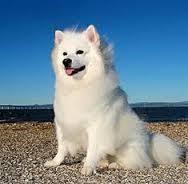 american eskimo dog yahoo image result for miniature american eskimo information eskies