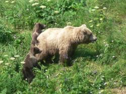 Are Bears Color Blind Brown And Black Bears U2014 Wildlife Viewing Alaska Department Of