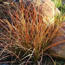 carex prairie ornamental grass seeds the sun seeds