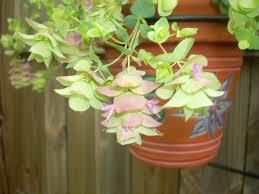 ornamental oregano perennial garden lover
