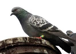 cuisine des pigeons voyageurs pigeon voyageur quel est le secret de sixième sens