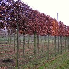 pleached beech trees pleached beech hedging ornamental trees