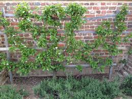 favorite garden element espalier trees velvet u0026 linen
