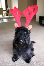 affenpinscher a donner santa u0027s 9 reindeer spotted before christmas u2013 iheartdogs com