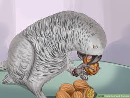 how to feed parrots 12 steps with pictures wikihow