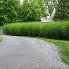 miscanthus gracillimus deer proof ornamental grass with gold