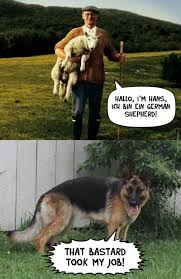 Funny German Shepherd Memes - german shepherd memes best collection of funny german shepherd