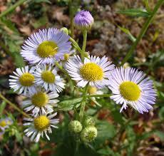 Daisy The Flower - wildflowers neighborhood nature