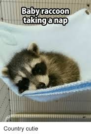 Raccoon Meme - baby raccoon taking a nap country cutie meme on me me