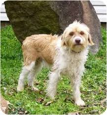 bearded collie and border collie mix rudy adopted dog mocksville nc wheaten terrier bearded