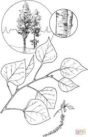 quaking aspen tree coloring page free printable coloring pages