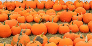 oh no there may not be enough pumpkins left for thanksgiving