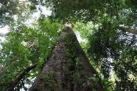africa s tallest tree measuring 81m found on mount kilimanjaro