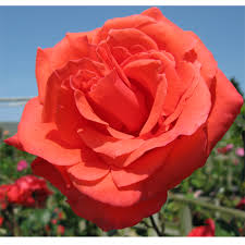 Roses For Sale Cheap Congratulations Hybrid Tea Rose Online Buy Congratulations
