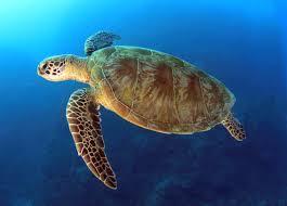 imagenes tortugas verdes jaira una tortuga verde en peligro de extinción pero resistente