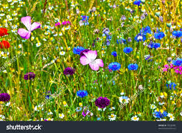 wild flowers in wild meadows meadow beautiful wild flowers different bright stock photo