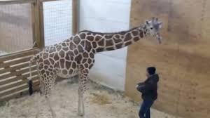 april the giraffe has a boy see her adorable calf today com