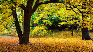 yellow autumn scenery brown leaves on the ground widescreen