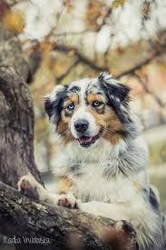 australian shepherd husky puppy 627 best love pets images on pinterest animals 3 4 beds and