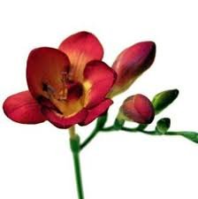 freesia flower wholesale freesia freesia flowers for diy weddings