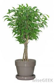 what are some small trees i can pot and bring indoors