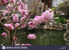 ornamental cherry tree prunus spec blooming cherry twig in a