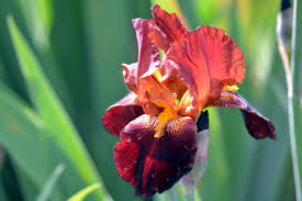 iris flowers the language of flowers iris gardens for goldens