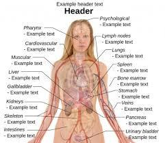 Anatomy Human Abdomen Diagram Of Female Stomach Anatomy Organ