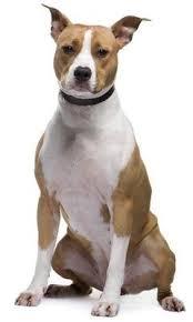 l american pitbull terrier a p b t american pit bull terriers vs american staffordshire terriers