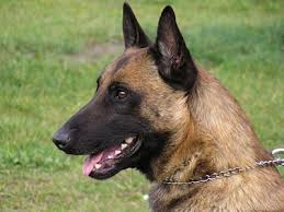 belgian shepherd or malinois belgian malinois information characteristics facts names