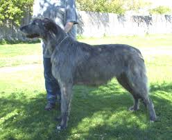 australian shepherd uglies the puppy uglies puppy problems dogz online