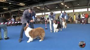 australian shepherd kennel club san marino australian shepherd youtube