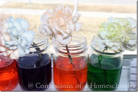 flower dyeing science experiment confessions of a homeschooler