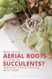 549 best succulent care tips images on pinterest succulent care