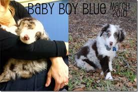 australian shepherd happy birthday happy birthday my sweet baby blue this crazy life of mine