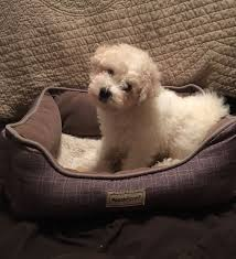 bichon frise breeders texas all our recent puppies have been placed in loving homes u2013 belle