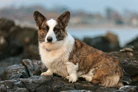 Corgi Puppy Meme - find cardigan welsh corgi puppies for sale with pictures from