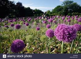 Flowers Boston - allium flowers boston public garden stock photo royalty free