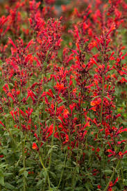 20 best trees images on pinterest landscaping ideas evergreen monrovia s coronado red hyssop details and information learn more about monrovia plants and best practices for best possible plant performance