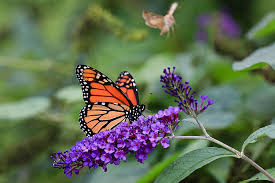 in mexico hopes of uptick in dwindling monarch butterfly