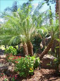 Florida Landscaping Ideas by These Palms Are Awesome Especially When Lit Up At Night For