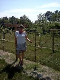 bluff stone vineyard completing the geneva double curtain trellis