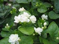 Most Fragrant Plants - fragrant plants reviews fragrant plants buying guides on dhgate com