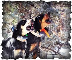 bluetick coonhound breeders near me rocky mountain blue ticks rocky mountain blue ticks home