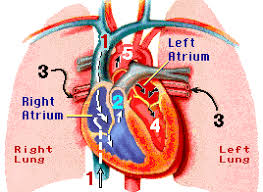 the circulatory system multiple choice questions