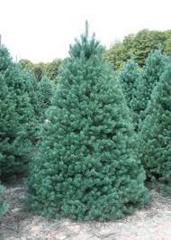 scotch pine christmas tree christmastrees